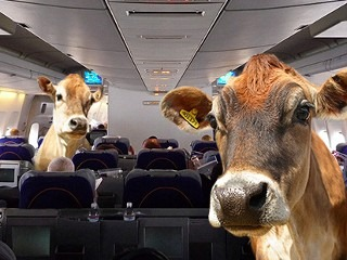 airline cattle calls