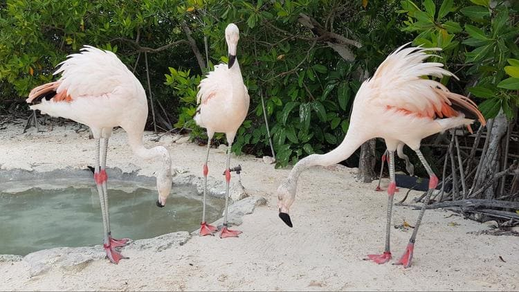 no very pink flamingos on renaissance island
